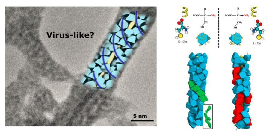 通过改变量子点上表面稳定剂的类型,可以使其自发形成不同形貌的自组装结构,例如,一维纳米线,二维片状结构等。量子点之间的范德华作用、静电作用、疏水作用已经偶极作用等都在其自组装结构中起重要作用。当量子点的表面稳定剂换为具有手性的半膀氨酸(L-Cys,D-Cys)后,表面稳定剂在空间排布的手性偏好促使量子点聚集体在空间的排布发生改变,从而形成和半膀氨酸手性相对应的手性螺旋聚集体。利用分子模拟证实量子点表面连接的手性小分子之间的手性相互作用势是决定量子点螺旋聚集形貌的主要因素。这些研究结果也为提升纳米药物
